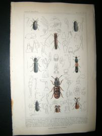 Cuvier C1835 Antique Hand Col Print. Scalytus, Antemae, Philoitribus, 55 Insects